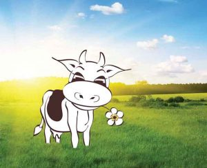 A cow in a paddock with a daisy in it's mouth