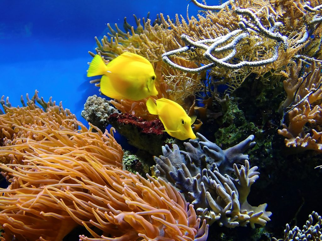 yellow fish swimming in Great Barrier Reef coral