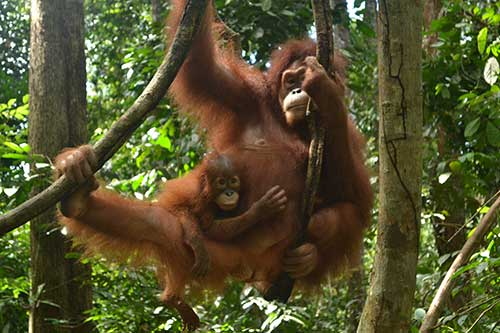 Orangutan and her baby hanging in a tree