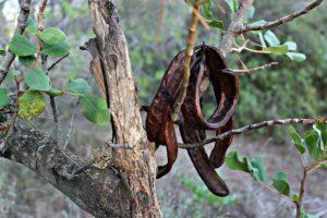 carob pods hanging form a carob tree